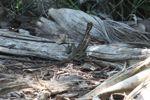 Female brown basilisk