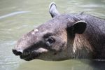 Baird's Tapir (Tapirus bairdii) [panama_0507]