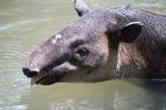 Baird's Tapir (Tapirus bairdii) [panama_0509]
