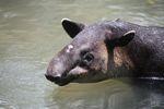 Baird's Tapir (Tapirus bairdii) [panama_0510]