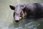 Baird's Tapir (Tapirus bairdii) [panama_0512]