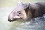Baird's Tapir (Tapirus bairdii) [panama_0513]