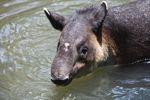 Baird's Tapir (Tapirus bairdii)