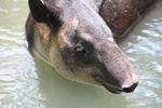 Baird's Tapir (Tapirus bairdii) [panama_0517]