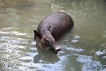 Baird's Tapir (Tapirus bairdii) [panama_0520]