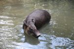 Baird's Tapir (Tapirus bairdii) [panama_0521]