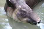 Baird's Tapir (Tapirus bairdii) [panama_0522]