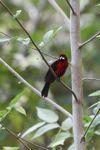bird [panama_0524]