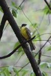 bird [panama_0526]