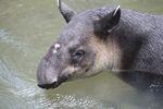 Baird's Tapir (Tapirus bairdii) [panama_0532]
