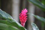 Pink ginger