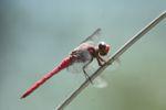 Raspberry dragonfly [panama_0537]