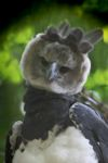 Harpy eagle, the world's largest eagle [panama_0548]