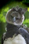 Harpy eagle, the world's largest eagle [panama_0548]