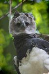 Harpy eagle, the world's largest eagle [panama_0550]