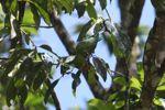 Parrot [panama_0556]