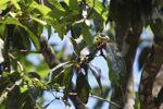 Parrot [panama_0559]