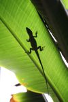 Anole lizard silhouetted on a leaf