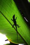Sombra de un lagarto anole en una hoja