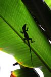 Anole lizard silhouette on a leaf