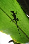 Anole lizard shadow on a leaf [panama_0565]