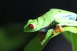 Red-eyed tree frog [panama_0566]