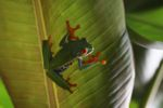 Red-eyed tree frog [panama_0572]