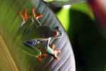Red-eyed tree frog [panama_0574]