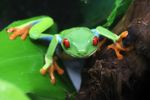 Red-eyed tree frog [panama_0576]