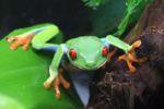 Red-eyed tree frog [panama_0577]