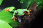 Red-eyed tree frog [panama_0578]