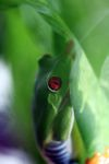 Red-eyed tree frog [panama_0580]