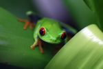 Red-eyed tree frog [panama_0581]