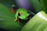 Red-eyed tree frog [panama_0581]