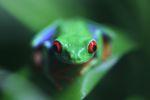 Red-eyed tree frog [panama_0586]