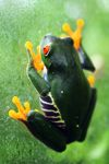 Red-eyed tree frog [panama_0591]