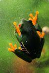 Red-eyed tree frog [panama_0592]