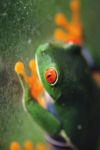 Red-eyed tree frog [panama_0593]