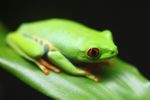 Red-eyed tree frog [panama_0594]