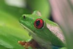 Red-eyed tree frog [panama_0595]