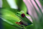 Red-eyed tree frog [panama_0596]