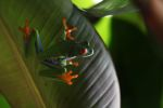 Red-eyed tree frog [panama_0600]