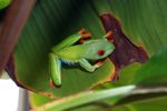 Red-eyed tree frog [panama_0604]