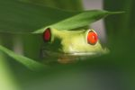Red-eyed tree frog [panama_0613]
