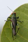 Grasshopper with bright orange eyes