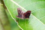 Mating butterflies [panama_0629]
