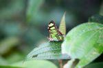 Butterfly [panama_0636]