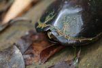 Tortoise [panama_0650]