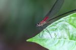 Magenta dragonfly [panama_0654]