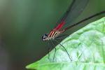 Magenta dragonfly [panama_0655]